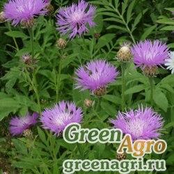 Василек подбеленный (Centaurea dealbata) (rose-pink) 30 гр.