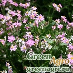 Бессмертник шлемовидный (Helichrysum cassianum) (rose) 20 гр.