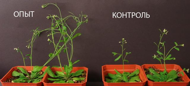 Действие ауксинов на растения