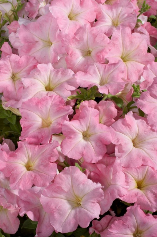 "Benary 00-00002644 Петуния многоцветковая (Petunia multiflora) ""Celebrity F1"" (chiffon morn) raw 1000 шт."