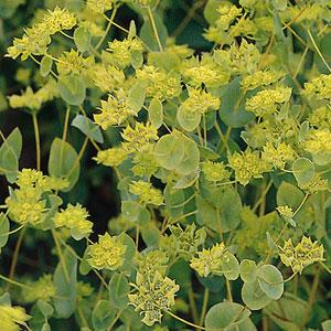 "PanAmerican Seed 00-00003716 Володушка круглолистная (Bupleurum rotundifolium) ""Griffiti"" (green) raw 1000 шт."